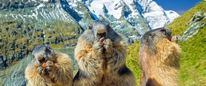 Murmeltiere in den Bergen